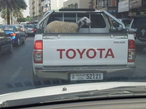 A sheep taking a ride.