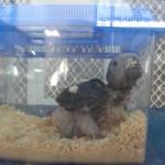baby African Grey Parrot